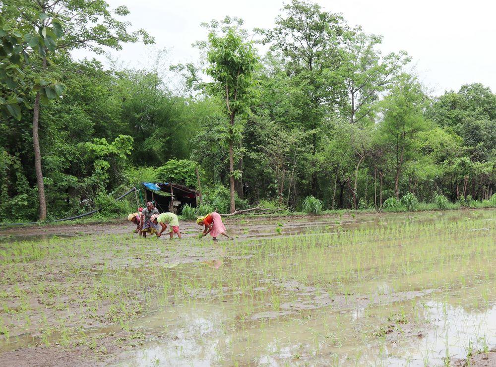 Agriculture - Dungari - Organic Fertilizer Distribution and Organic Farming Seminars - United World Foundation